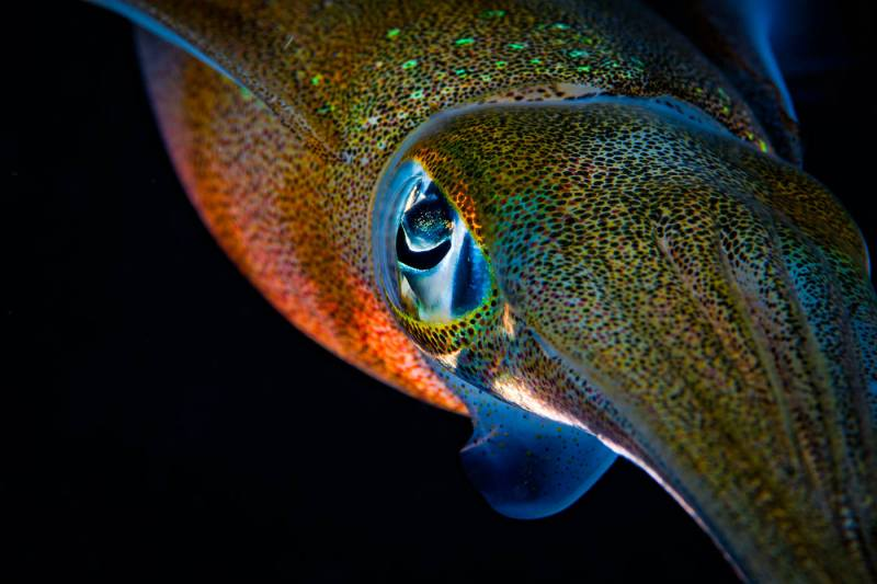 SQUID CLOSE UP
