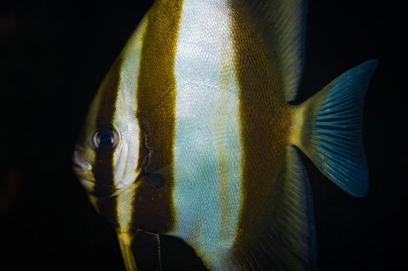 Platax teira (Longfin batfish)