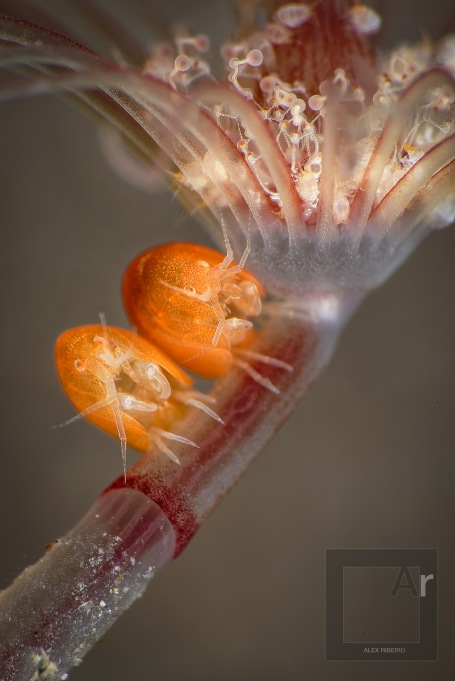 Happy two friends - Two ladybugs (amphipods) I was lucky to find on the same hydroid, on the same focal plan. Less than 20 % crop on this image. Sharpness was increased in post processing, but the data from the raw file was really there, otherwise, it would have been artefacts instead of details. 1/250, f.45, ISO 100