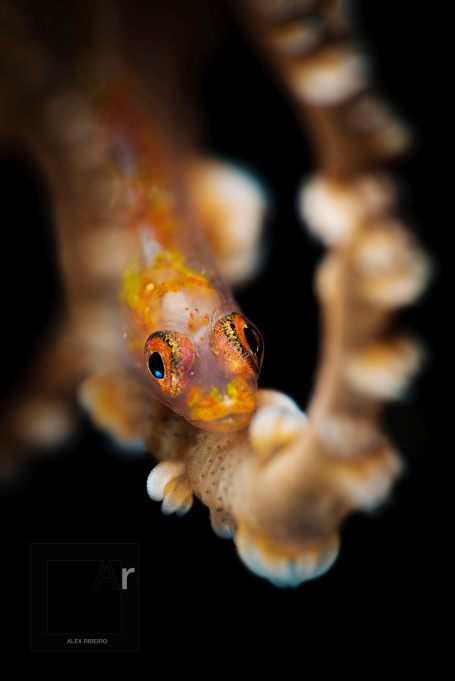 Whip Coral and Goby - (Bryaninops yongei) Tulamben, Bali, Indonesia. Impressive bokeh, from SMC-2, in this front shot. -1/250, f/32, ISO 100