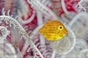 Baby triggerfish - Amed, Bali, Indonesia. Nauticam SMC-1 is very versatile and its working distance allows to capture fish swimming without spooking them too much - 1/320, f/14, ISO 100