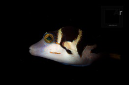 Black Saddled Toby - Valentin's sharpnose puffer (Canthigaster Valentini). Amed, Bali, Indonesia. Fish portrait is one of the themes specially suited for this lens. This one shot on a night dive. - 1/60, f/14, ISO 80