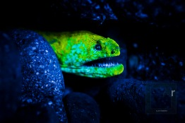 Fluorescent moray eel - Amed, Bali, Indonesia. The reduced working distance of the 60 AF-D lens is specially suited for fluorescence shooting, as the torches are far less powerful than strobes. 2 x Sea Dragon Fluoro-Dual Beam were used. - 1/160, f/5.6, ISO 2800