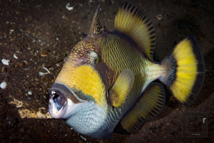 Titan Triggerfish - (Balistoides viridescens) Tulamben, Bali, Indonesia. Coupled with powerful strobes, under good visibility, it is possible to portray decent sized fishes at a distance -1/200, f/13, ISO 100
