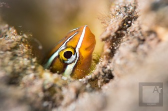 Bluestriped fangblenny - Amed, Bali, Indonesia.(Plagiotremus rhinorhynchos). SMC-1 was almost touching the blenny's hole. I had to wait until he got out, to shoot. - 1/250, f/7.1, ISO 100
