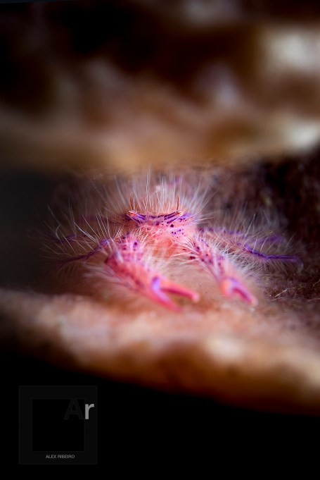 Hairy squat lobster - (Lauriea siagiani). Amed, Bali, Indonesia. Under 7mm in size, it looks somehow lost in the frame. Light effect and D.O.F, however, give it an interesting tridimensional look. - 1/250, f/13, ISO 64