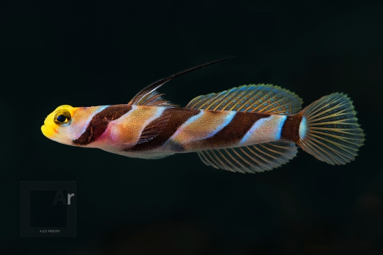 Yellownose Shrimpgoby - (Stonogobiops xanthorhinica) Amed, Bali, Indonesia. The superior colour rendition and detail of the Nikon 105 Micro VR is clearly noticeable in here. It pairs beautifully with Subtronic warm and involving light - 1/200, f/16, ISO 100