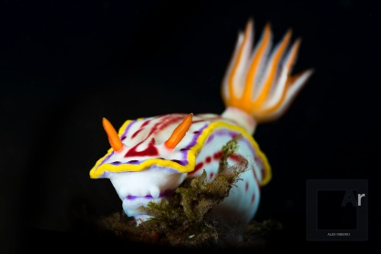 Hypselodoris kaname - Tulamben, Bali, Indonesia. Nudibranch portrait, as perfect as it can get, where colour, detail and volumetry show the optical quality of this lens - 1/250, f.32, ISO 100