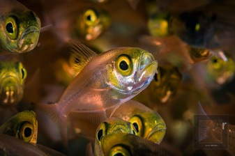 """Golden Sweeper - (Parapriacanthus ransonneti) Tulamben, Bali, Indonesia. Compare this image with the fish schools captured with the 60 mm. Here, only one subject is in focus, creating a totally opposite concept - """"one among many"""", vs. a pattern of individuals. 1/250, f/18, ISO 100"""