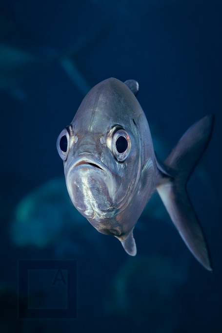 Bigeye trevally - (Caranx sexfasciatus)- Tulamben, Bali, Indonesia. Getting a front shot of this fast moving silvery fish is only possible from a distance, because of auto-focus speed limits. Again, powerful strobes are needed, but it's the only possible way. 1/250, f/13, ISO 64