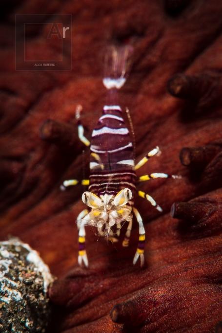 Juvenile bumblebee - Bumblebee shrimp (Gnathophyllum americanum).Tulamben, Bali, Indonesia. This juvenile shrimp was 5 mm in size. Image is around 50 cropped. - 1/250, f/22, ISO 64