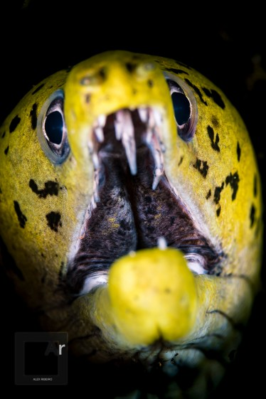 Fimbriated Moray close up - (Gymnothorax fimbriatus) Tulamben, Bali, Indonesia. The working distance of the 105 mm lens allows these close ups without making it too dangerous. - 1/200, f/18, ISO 100