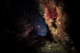 Moray eel (Muraena helena), 150 cm in size. Snoot position 6 - 1/250, F/13, ISO 64. Apart from reducing backscatter, snoot usage can highlight the subject's contour and give the image a mysterious look.