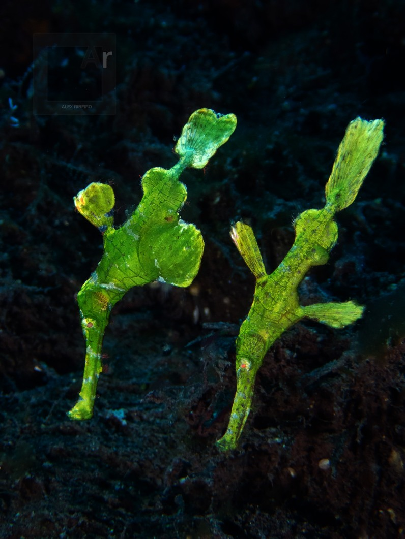 Robust Ghost Pipefish, green variation - Tulamben, Bali ( 1/60, F/5.6, ISO 100)